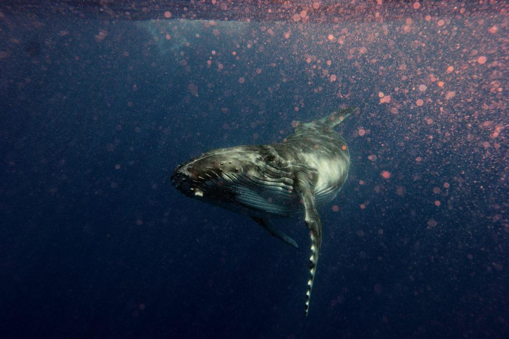 Les Baleines Peuvent Flipper Le Tangue